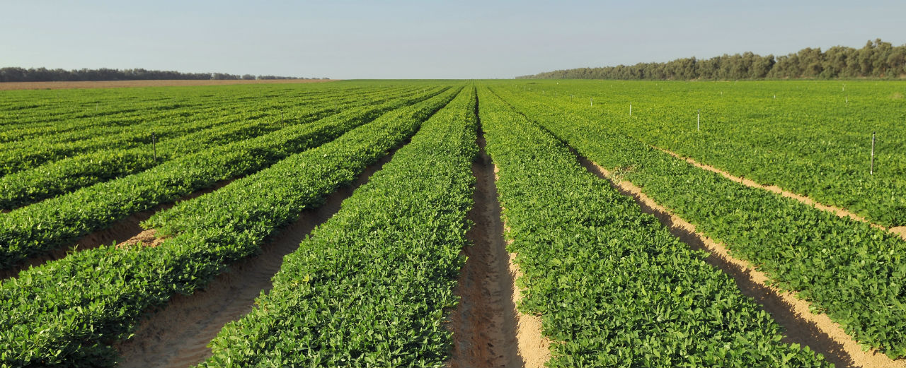 peanut-rows
